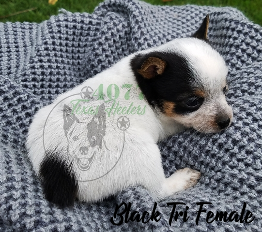 Miniature Toy Texas Heeler Puppies