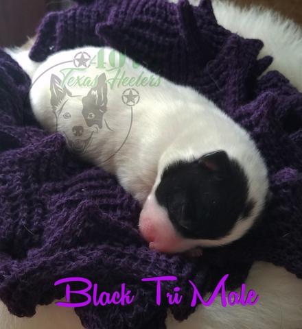 Registered Miniature Texas Heeler Puppies