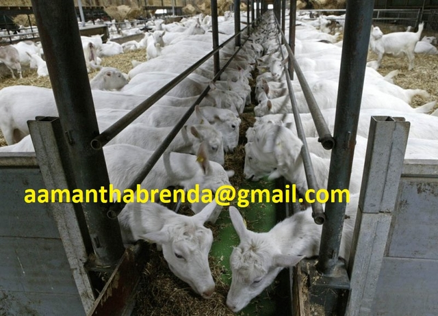 Pure Breed Saanen Goats for sale