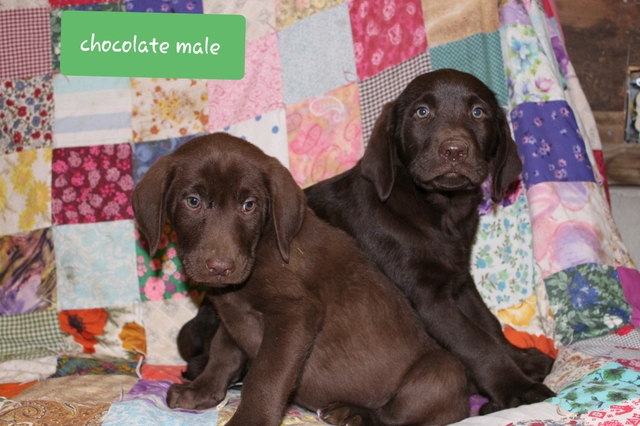 Akc Purebred Lab Puppies Ready Now Nex Tech Classifieds