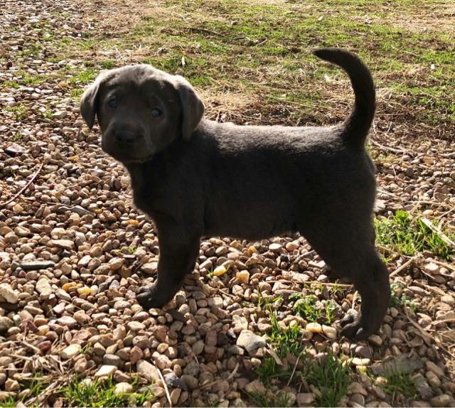 AKC Silver and Charcoal Lab Puppies
