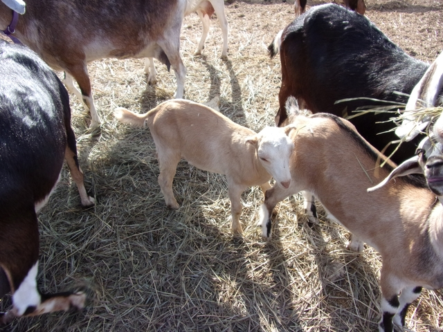 3 bucklings and 1 doeling for sale