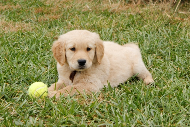 Akc Golden Retriever Male Puppy Nex Tech Classifieds