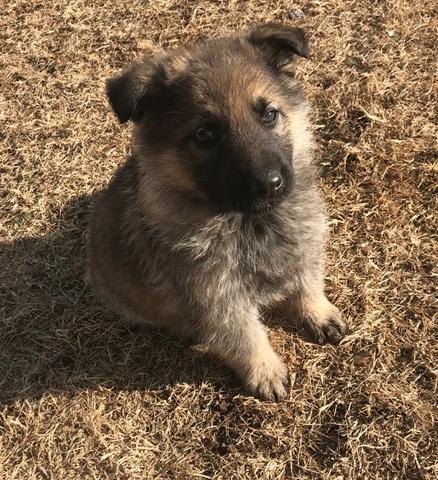 Sable Male German Shepherd Puppies Nex Tech Classifieds