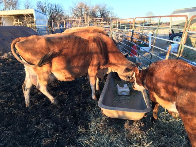 Jersey Nurse Cow