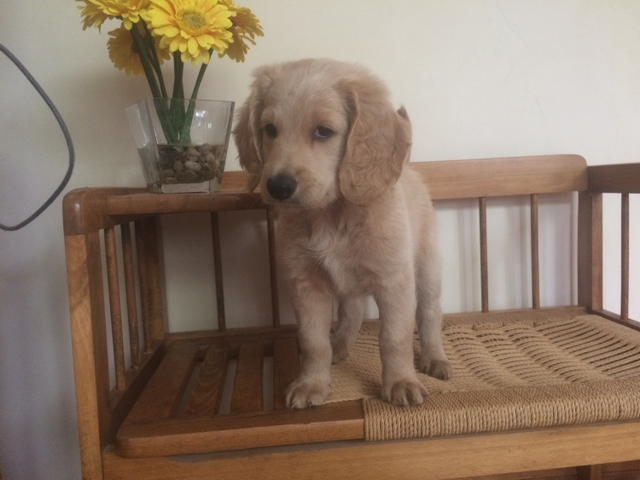 Sold 9 Week Old Goldendoodle Is A Cute Male Puppy