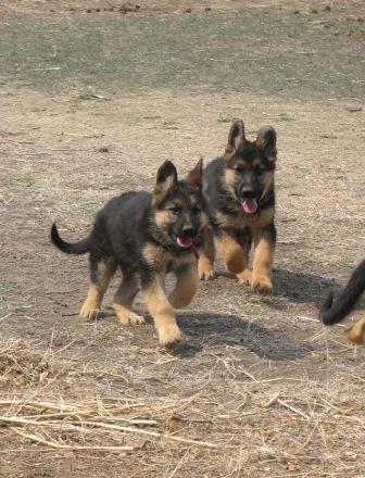 AKC German Shepherd Puppies, Price Reduced for Christmas!!!