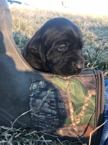 Purebred Lab Puppies Price Reduced Discoverstuff