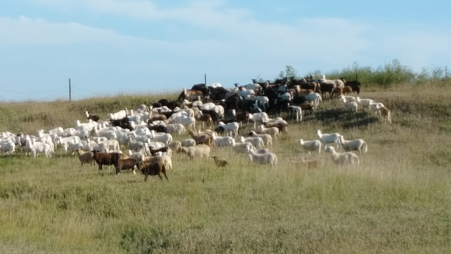 SOLD - Katahdin / Painted desert Sheep ewes for sale