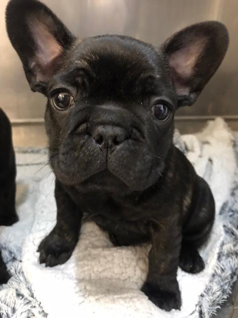 French Bulldog Puppies Nex Tech Classifieds