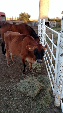 3 Yr Old Jersey Nurse Cow