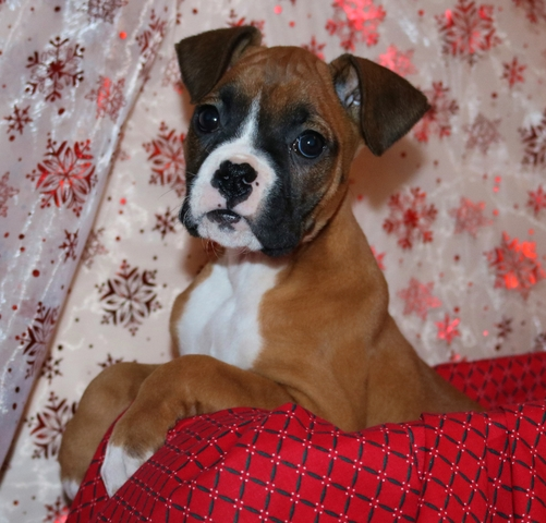 ***'AKC Boxer Puppies***