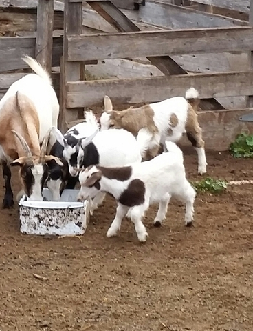 100% pure bred fainting goats