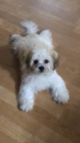 Bichon Frise Shih Tzu Cross Puppy Nex Tech Classifieds
