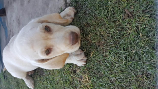 Purebred Yellow Akc Registered Lab Puppies Nex Tech Classifieds