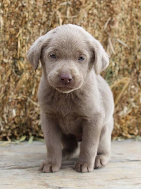 AKC Lab Puppies Silver Champagne Charcoal - Nex-Tech Classifieds