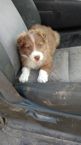 Red Border Collie Puppies For Sale Nex Tech Classifieds
