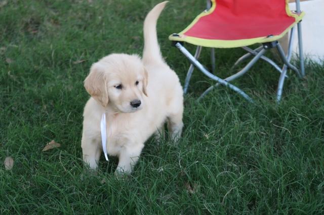 Golden Retriever Female Puppy White Ribbon Nex Tech Classifieds