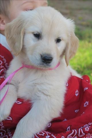 Golden Retriever Female Puppy Pink Ribbon Nex Tech Classifieds