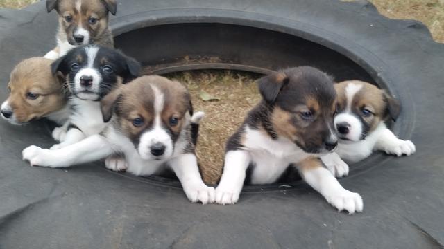 border collie mix puppies