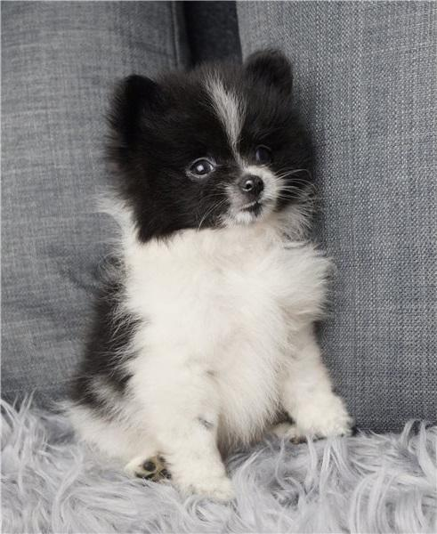 Pomeranian Puppies With Akc Registration