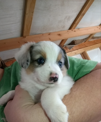 Female Auggie Puppy Ready For It Forever Home Nex Tech Classifieds