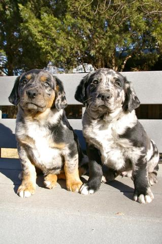 Sheprador Puppies For Sale Nex Tech Classifieds