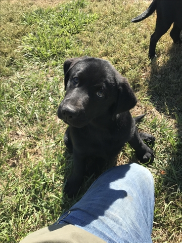 Akc Registered Lab Puppies Price Reduced Nex Tech Classifieds