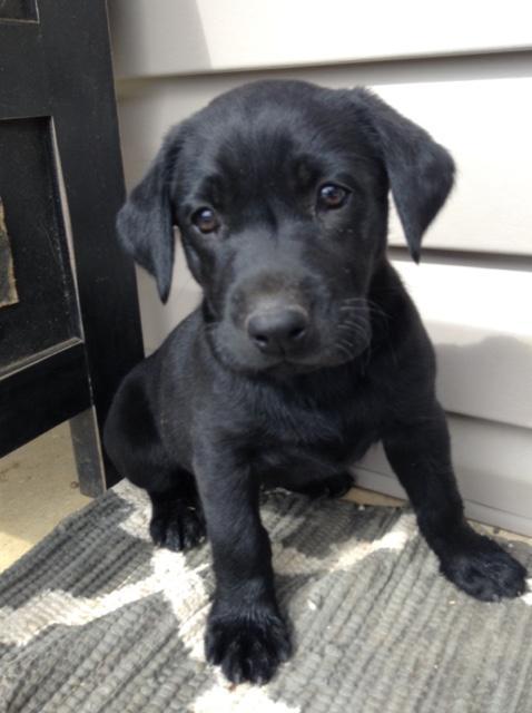 Akc Lab Puppies Sold Nex Tech Classifieds