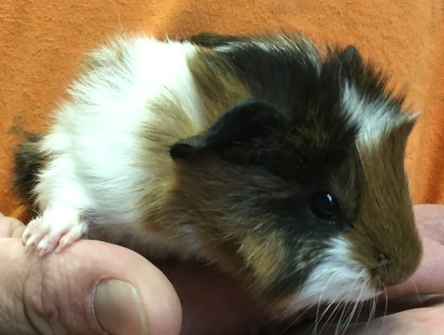 Abyssinian Guinea Pig Babies Healthy & socialized - Nex ... - photo#45