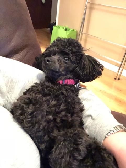 ISO TOY POODLE STUD - Nex-Tech Classifieds