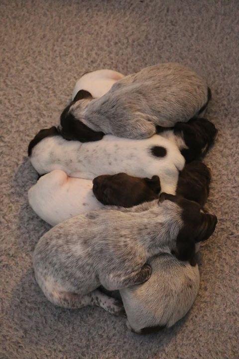 German Shorthair Pointer Puppies