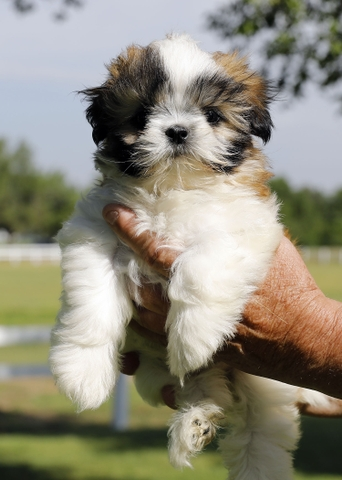 SHIH TZU puppy for sale - Nex-Tech Classifieds
