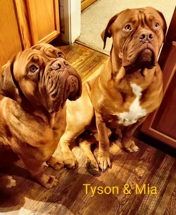 Registered Dogue De Bordeaux French