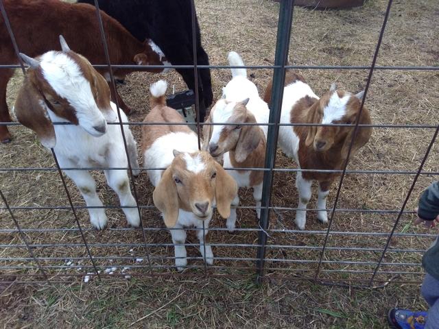 Boer wether goats