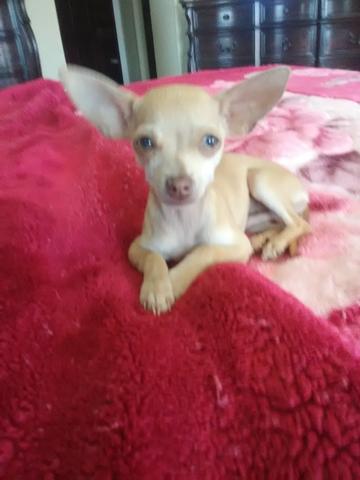 xxs chihuahua puppies - nex-tech classifieds