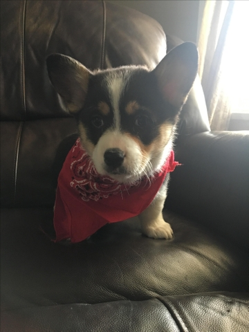 SOLD - AKC Registered Corgi Puppies