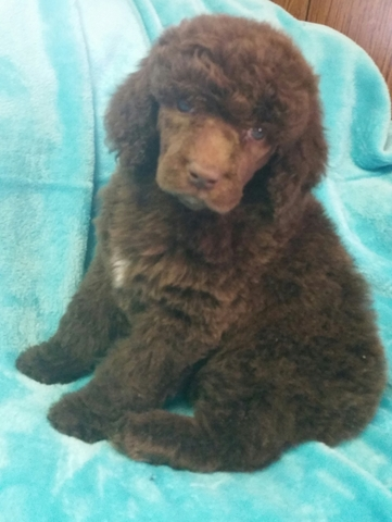 Standard Poodle Silver Beige Abstract Female