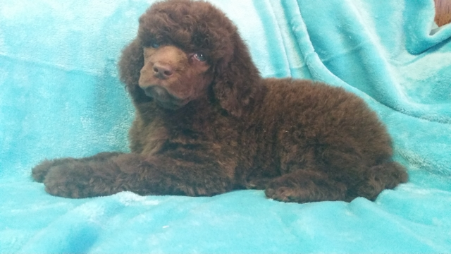 Standard Poodle - Silver Beige Abstract female