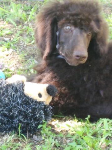 Akc Standard Poodle Brown Phantom Male Champion Bred