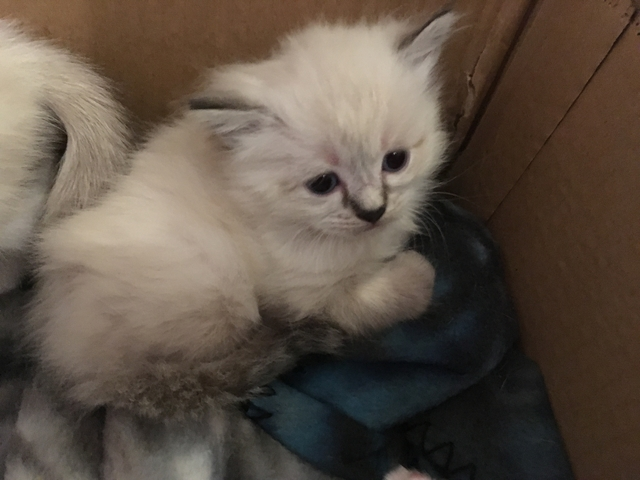Sold Persian Siamese And Bicolor Kittens