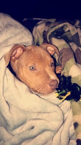 purebread red nose pitbull puppy for sale